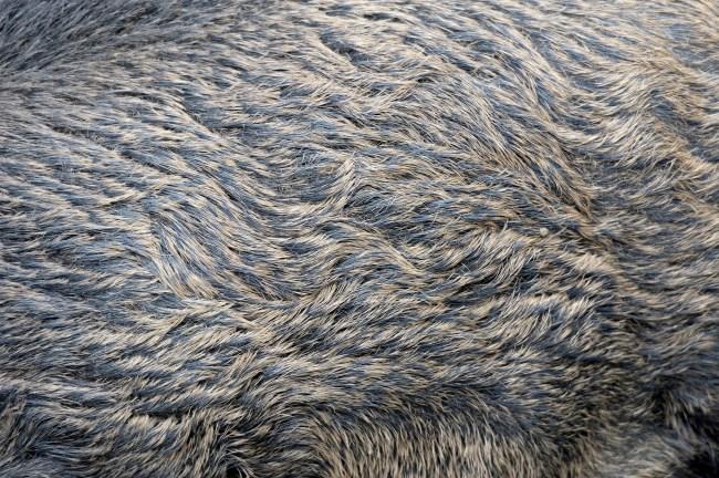 wild boar feral hog fur skin