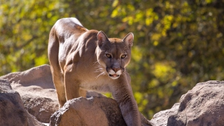 8-Year-Old Boy Explains How He Fought Off A Mountain Lion – 'Head Was Inside The Lion's Mouth'