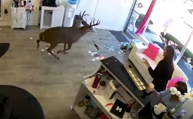 Deer smashes Long Island Salon window and destroys the salon