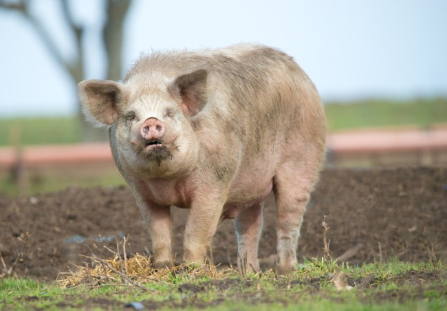 China is breeding big pigs the size of polar bears that weigh as much as 1,102 pounds .