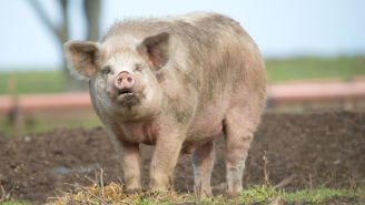 China Is Breeding Gargantuan Pigs The Size Of Polar Bears