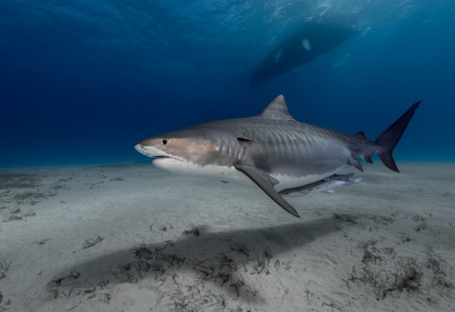 8-year-old Jayden Millauro was out fishing with his dad Jonathan and boat captain Ibby Dardas off the coast of south Sydney and reeled in a 700-pound tiger shark, breaking a record from 22 years ago.