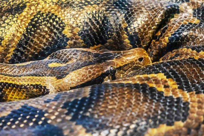 Burmese python - Python molurus bivittatus