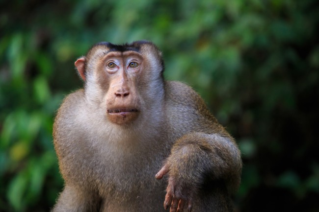 Monkeys eat rats in Malaysia. Scientists shocked that pig-tailed macaques eating rats at palm oil plantations.
