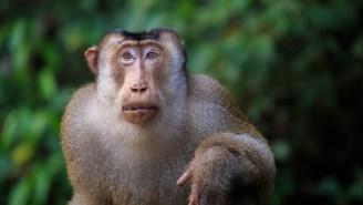 Killer Monkeys Caught Devouring Thousands Of Large Rats, Shocking Scientists