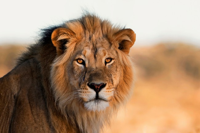 male lion Africa