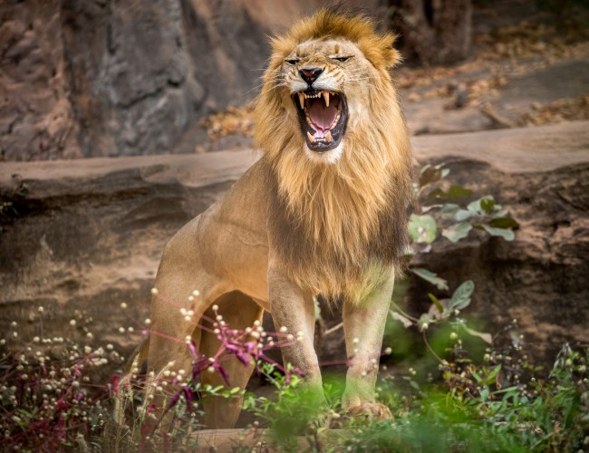 A woman visiting the Bronx Zoo in New York climbed into a lion enclosure and stood feet away from one of the wild animals, appearing to taunt it in video.