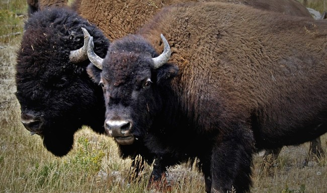 Man Who Survived Bison Attack Goes On Date She Also Gets Attacked By A Bison