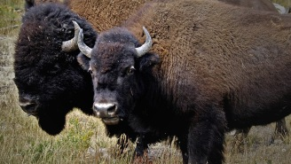 Man Who Survived Getting Gored By A Bison Takes Girl On A Date… She Gets Gored By A Bison