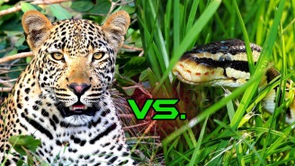 Greedy Python Thought Trying To Eat A Leopard Was A Good Idea, It Ended Very Badly For Him