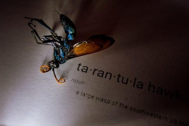 Tarantual Hawk Wasp
