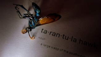 Nothing's Disturbed Me More Today Than This Picture Of A Tarantula Hawk Wasp Eating A Massive Huntsman Spider