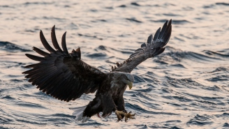 VIDEO: An Octopus Had A Bald Eagle In A Watery Death Grip But Survived Thanks To Salmon Farmers