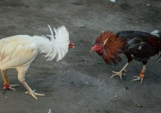 Indian man, Saripalli Chanavenkateshwaram Rao, died his rooster attacked him in the car on his way to a cockfight.