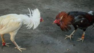 Man Killed By His Own Rooster On The Way To A Cockfight