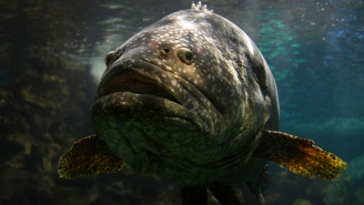 A Florida Man Caught A 350-Pound Grouper That Legitimately Looks Big Enough To Swallow Danny Devito In One Bite