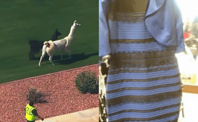 Llama Chase and the Dress best internet day ever