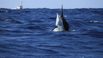 Enormous 957-Pound Black Marlin Landed In Tauranga Is The Biggest Caught In That Area In 60 Years