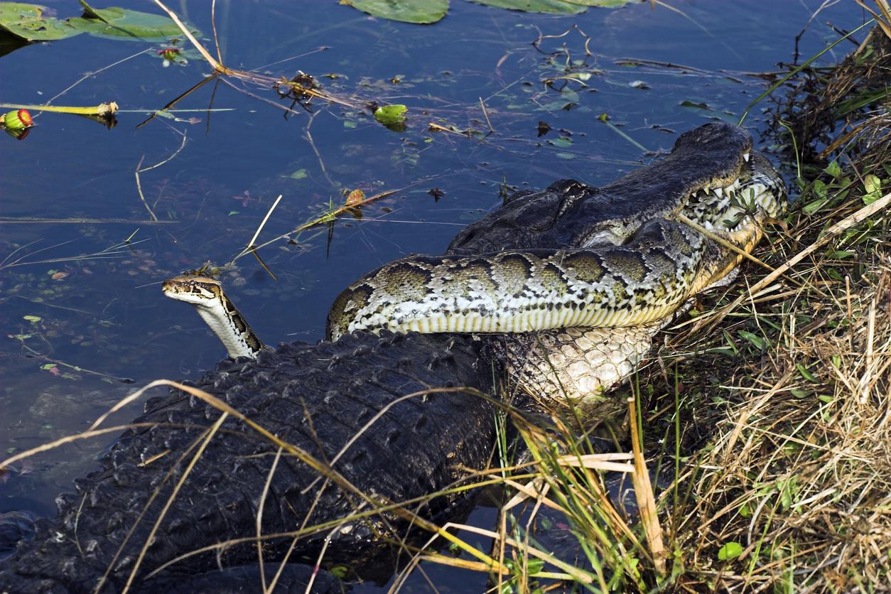 Alligator Devours Burmese Python In Battle For Florida's Everglades