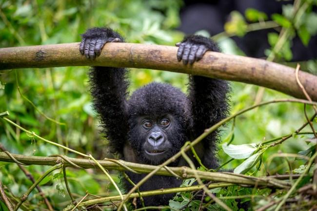 baby gorilla Virunga National Park