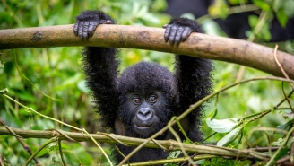 Africa's Endangered Gorillas Could Be In Serious Danger From The Coronavirus Because Tourists Are Idiots