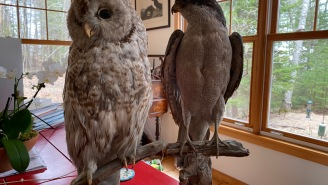 Which Of These Two Birds Of Prey, Shot By My Great-Grandmother, Do You Prefer?