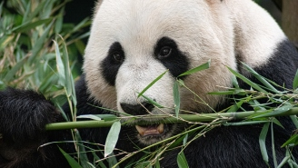 Congrats On The Sex: Two Giant Pandas Successfully Mate During Lockdown After A Decade Of Trying