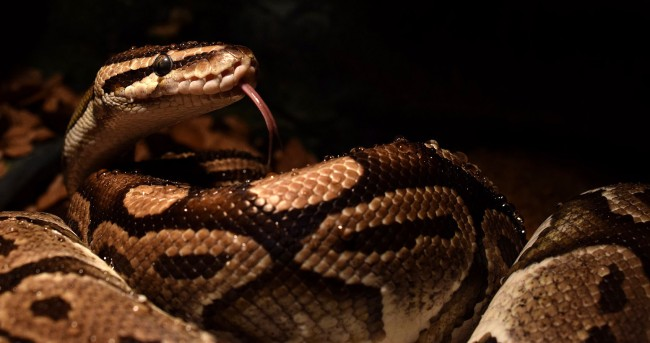 Pet Python Bites Owner And Wraps Itself Around Her Arm And Leg