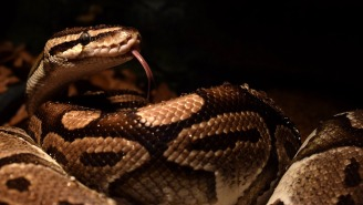 Sensing Freedom, Huge Pet Python Goes Rogue, Bites Owner And Wraps Itself Around Her In A Flash