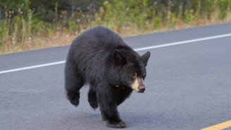 Black Bear Has Hilarious Reaction After Getting Caught Trying To Steal A Mercedes