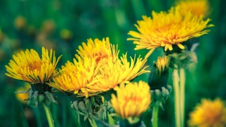 Here's How To Turn The World's Most Annoying Flower Into Booze By Whipping Up Some Dandelion Wine