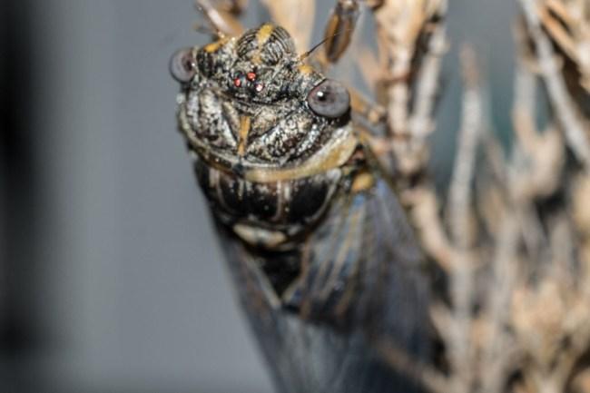 cicadas in the united states