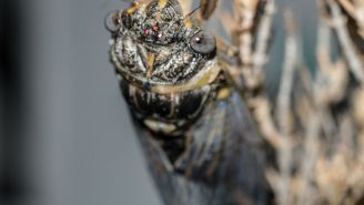 2020 Continues To Stay Very On Brand As More Than 1 Million Cicadas Are Set To Take Over 3 States In The U.S.