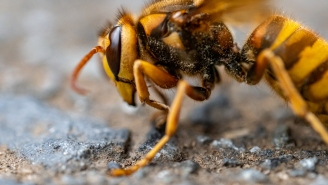 Video Shows How Japanese Bees Deal With 'Murder Hornets' By Swarming Them And Cooking Them Alive