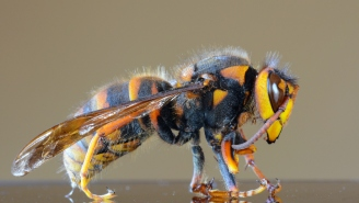 Bug Experts Squish Idea That Murder Hornets Are A Reason To Panic And Say It's All Hype