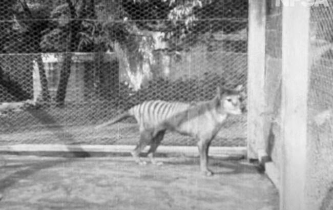 Last known Thylacine footage ever, Benjamin the Tasmanian Tiger 1935