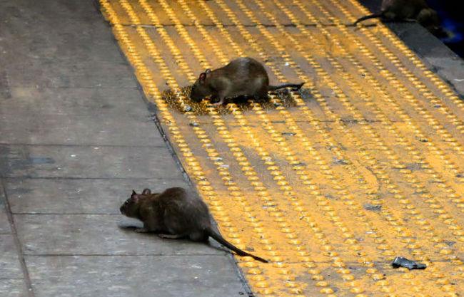 cdc aggressive cannibal rats warning