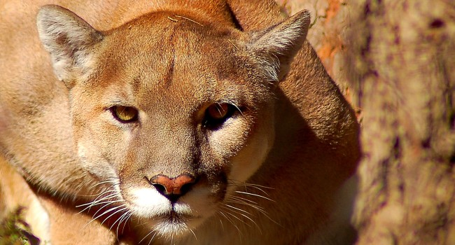 A Mountain Lion Had To Be Removed From A Familys Crawl Space
