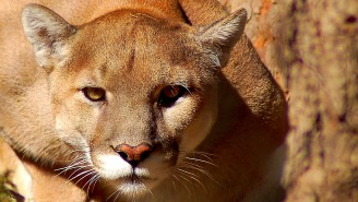 A Mountain Lion Had To Be Removed From A Family's Crawl Space, So That's A Thing That Can Happen