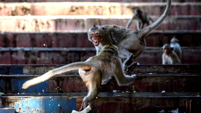 Aggressive Sex-Crazed Monkey Gangs Take Over Buildings In Thailand