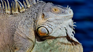 A Pizza Shop Was Shut Down After An 80 POUND Iguana Was Found In The Freezer Along With 27 Other Violations