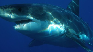 A Great White Grabbed A Kayaker's Boat Like A Dog Toy And Lifted It Into The Air Before Tossing Him In The Water