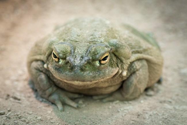 Bufo Alvarius Toad