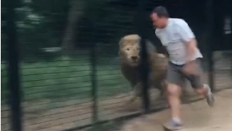 Guy Trying To Juke Caged Lion Proves Humans Have No Chance Surviving In Wild