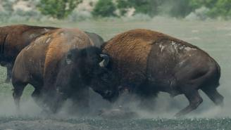 Yellowstone Tourist Gored Multiple Times By A Bison After Getting Way Too Close