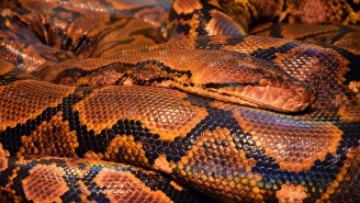 A 10-Foot Python Thick As A Palm Tree Found Chilling Under The Hood Of A Blue Mustang Because Florida