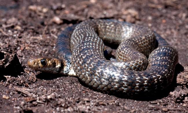 Australian Man Kills Snake With Seat Belt Knife While Speeding On Highway