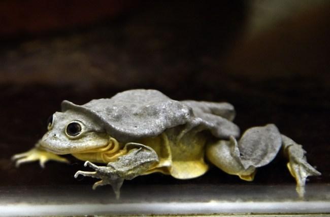 Scrotum frog Lake Titicaca Water Frog