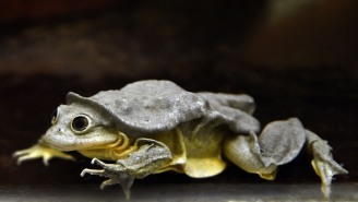 The Endangered 'Scrotum Frog' From Lake Titicaca Is A Global Treasure And Scientists Say It Must Be Saved