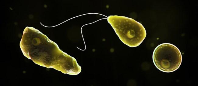 Naegleria fowleri brain-eating amoeba